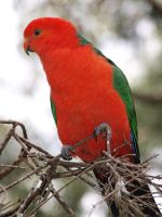 The King Parrot by HempHat