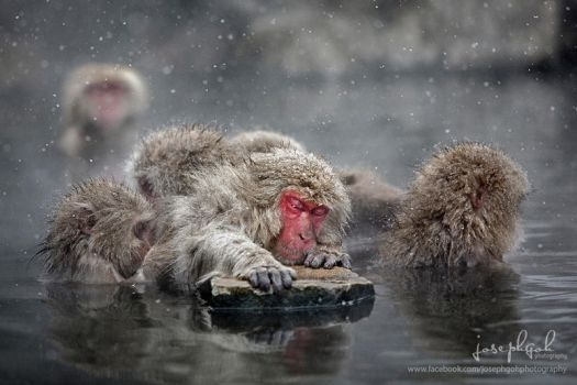 Snow Monkeys, Japan by josgoh
