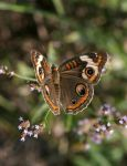Common Buckeye 3373 by Cristian-M