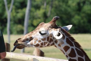 COLZ 082115 - Giraffe Stock 01 by pythos-stock