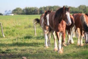 Clydesdales 16 by okbrightstar-stock