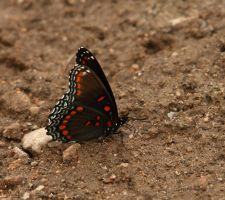 Red Spotted Purple butterfly by natureguy