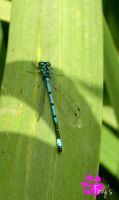Common Blue Damselfly (12.07.13) by LacedShadowDiamond