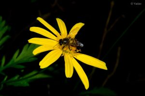 Honey Bee by YadavThyagaraj