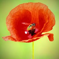 Poppy and bee-nature photo by sonafoitova
