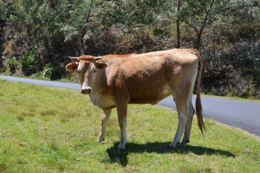 Cow of Reunion Island making stop car by A1Z2E3R