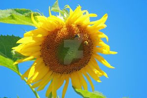 Sunflower by photogatlarge