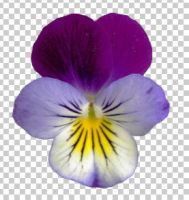 02 pansies+transparent by ForestGirlStock