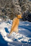Jumping Dog-stock by Vickithtoria-Stock