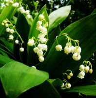Lily of the valley by Michawolf13