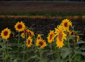 Sunflowers 2 by ximocampo