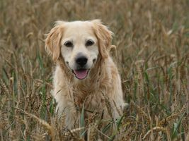 My doggy in a Cornfield by Galatheon