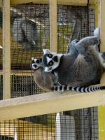 Ringtail Lemurs by Jisei