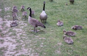 a dozen of baby love. large canadian goose family by analovecatdog