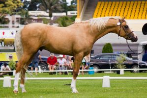 Palomino Horse by DWDStock