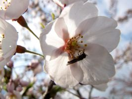 Cherry blossom Admirer by Baltagalvis