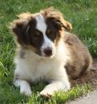 Red Tricolor Miniature Australian Shepherd by WampusDragon