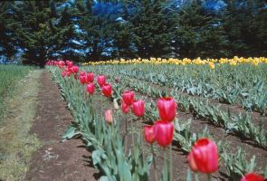 tulip farm 1950s or 1960s by otherunicorn-stock