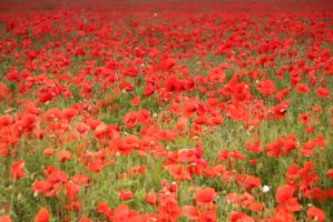 poppy field by lensenvy62