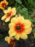 Yellow and Red Flower by sfasmtawsbasa