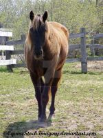 Kentucky Mountain Horse 6 by EquineStockImagery
