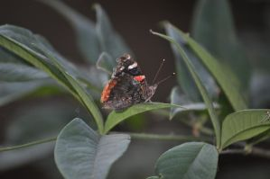 Red Admiral by Aryncoryn