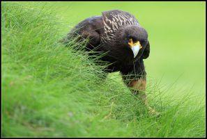 Striated Caracara II by nitsch