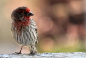 House Finch by rainylake