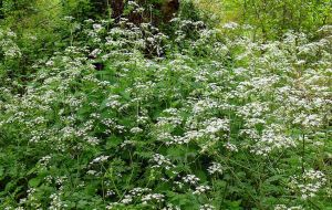 cow parsley by awjay
