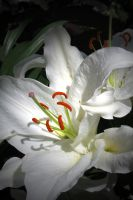 White Lily by desmo100