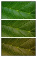 green leaf by cilie