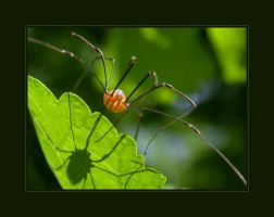 A Red Daddy Long Legs by solodaddy