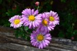 Lovely Lavender Daisies by Scooby777