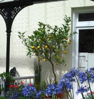 Lemon Tree and Agapanthus by 666squirrelOFdeath