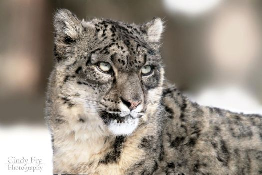 Snow Leopard by lost-nomad07