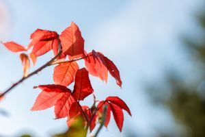 Autumn Rose Leaves by sztewe