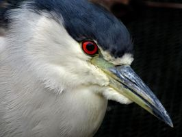 Night Heron by Track-Maidens
