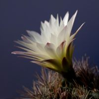 Cactus Flower by fractalyzerall