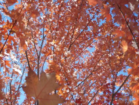 Maple Tree, Looking up by spiffwalker