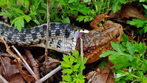 Snake Eating A Toad by Matthew-Beziat