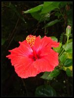 red hibiskus by Summer-Sunny