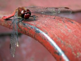 red dragonfly by Croiea