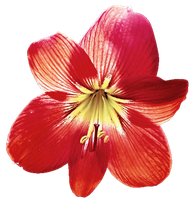 Red Lily by jeanicebartzen27
