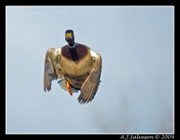 Mr Mallard by andy-j-s