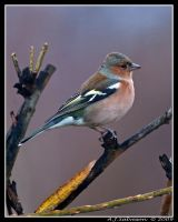 Autumn Chaffinch by andy-j-s
