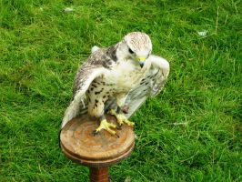 Glamis Castle - Birds of Prey 03 by Narric-SB0