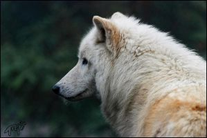Hudson Bay Wolf 45 by Canisography