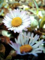 First daisies by Klytia70