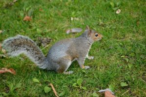 Grey squirrel by TheRavenPhotography