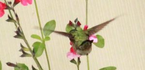 ruby throated hummer by Laur720